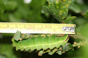Jane Deane - Caterpillar nearly full grown